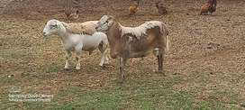 Dorper and Meat Master Rams available for sale at Tshwane Livestock