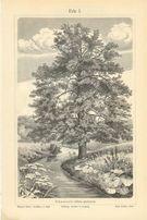 DRZEWA III piękne oryginalne XIX w. grafiki do dekoracji wnętrza