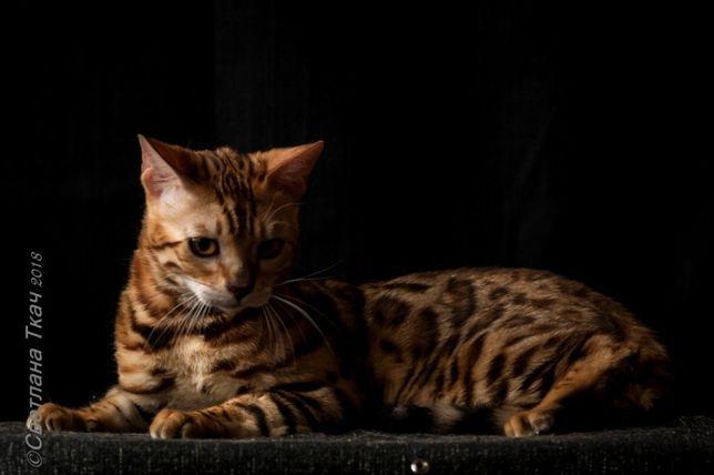 настоящий король, бенгальский кот Киев - изображение 3