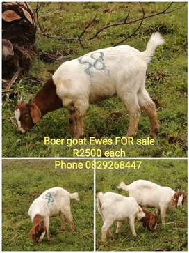 Boer goat Ewes FOR sale now at Tshwane Livestock.