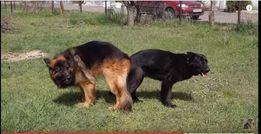 Помощь при вязке (случке) собак. Искусственное оплодотворение.