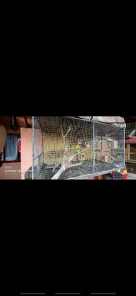 20 budgies with cage