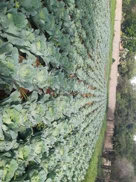 Cabbages for sale for R8 each. Min Order 20 only R160