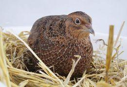 Инкубационные яйца Английских черных перепелов - яичные перепела