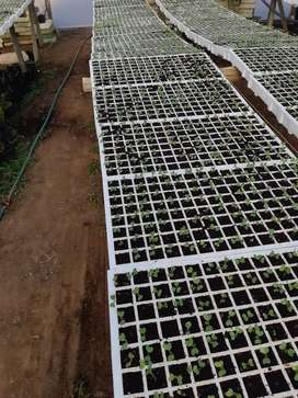 Cabbage seedlings for sale