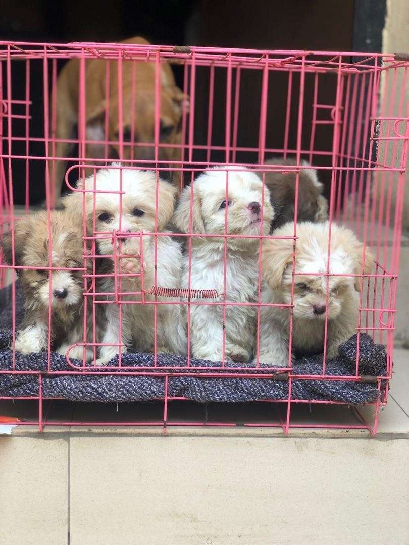 2 months old pure breed Lahsa puppies 0