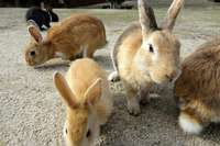 Image of Matured rabbits