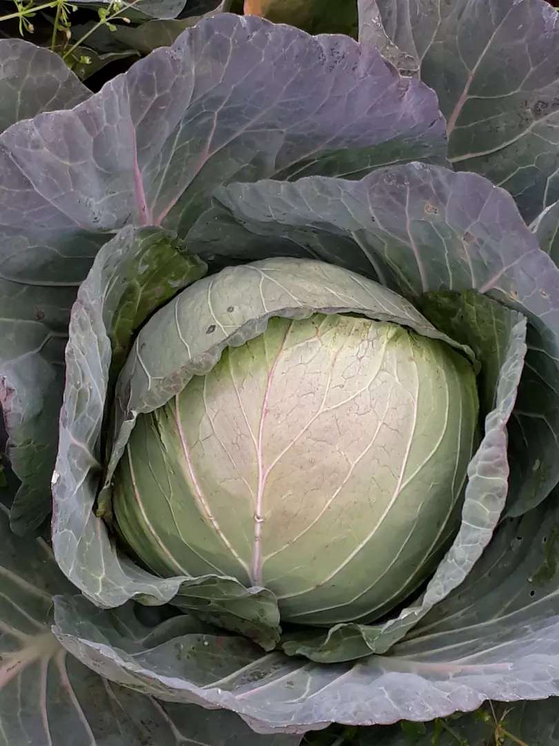 GREEN CABBAGE (GLORIA F1 VARIETY) 0