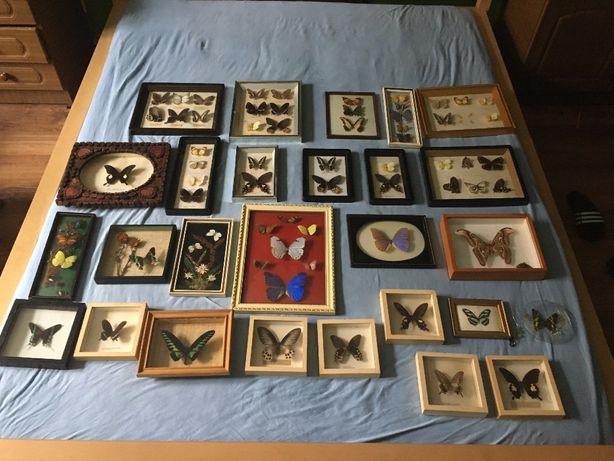 Kolekcja motyli Attacus Atlas 1 szt Urania leilus 1 szt i inne Brzeg - image 2