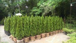Туя смарагд от 1 до 2,5 метров для живой изгороди