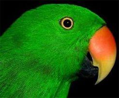 Благородный попугай идеально ручные выкормыши по низкой цене!!!