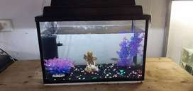 1.5ft black silicone tank and 6x gouramis r700