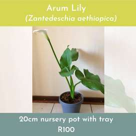 Arum Lily Potted indoor plant