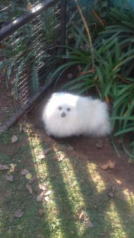 TOY POMERANIAN FOR SALE
