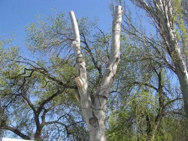 Спил деревьев любой сложности. Днепр - изображение 1