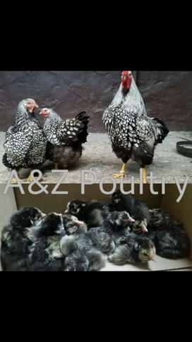 Silver Laced Wyndott chicks 20 for R1000  A&Z Poultry Zaheer Maiter
