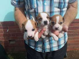 JACK RUSSEL PUPS READY FOR THEIR NEW LOVING HOMES, MALES AND FEMALES.
