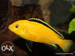 Labidochromis yellow Лабидохромис Малавийские Цихлиды
