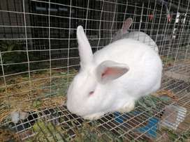 RABBITS FOR SALE NEWZEALD WHITE 5 MONTHS OLD UPWARDS