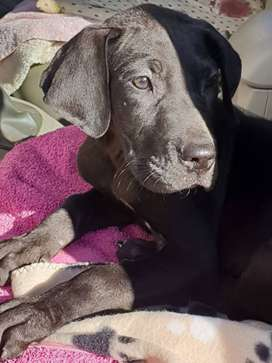 Female great dane puppy