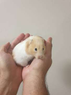 Hamsters for donation