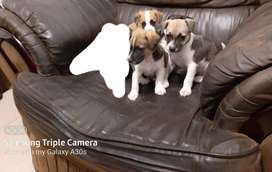 Jack russel pupps available