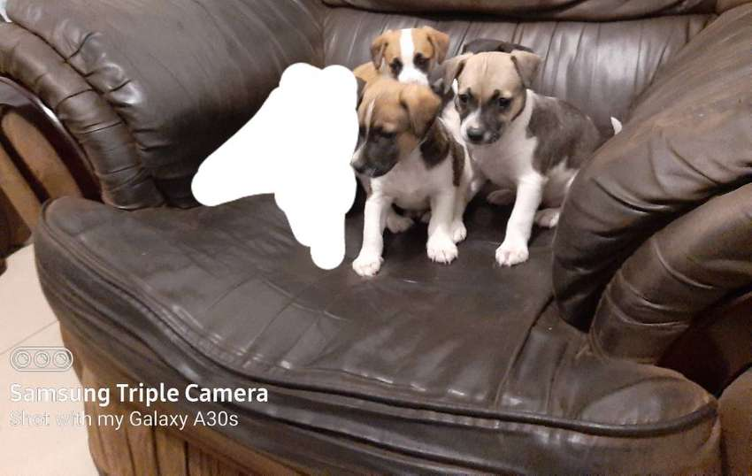 Jack russel pupps available 0