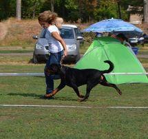 Хендлер - подготовка собак к выставкам