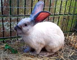 Frosted Pearl Rabbit