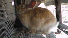 New Zealand Red and White Rabbits