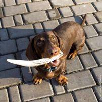 Рога оленя - лакомство для собак
