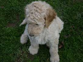 Standard French Poodle Pups