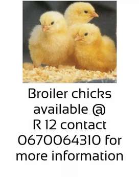Broiler chicks available