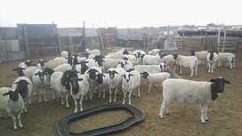 Dorper Sheep for sale.take all for  Sixty-Two Thousand.