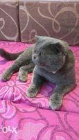 Кот на вязку Британец скотиш страйт голубого окраса предлагает .