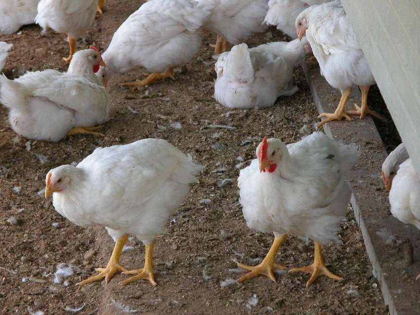 Live and Processed Broiler Chickens for sale!! 0