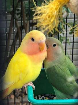 Lovebirds For Sale – R100 per bird
