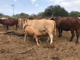 Looking for hire land for grazing around Polokwane