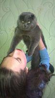 Вислоухий шотландский котик для вязки