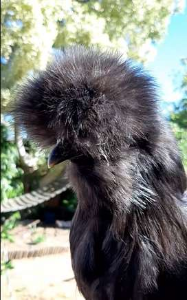Bearded silkie chickens