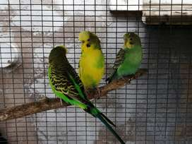 Common budgies for sale