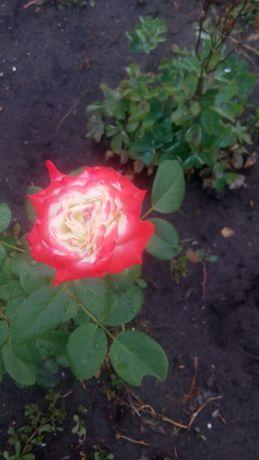 Продам кусты,.саженцы роз.