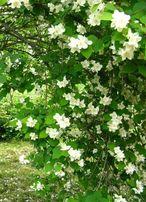 Саженцы жасмина садового