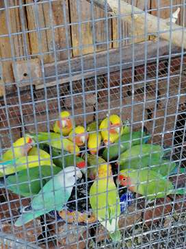 Love birds for sale R200