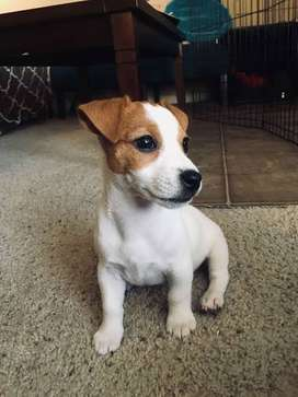 Looking for: Jack Russel puppy