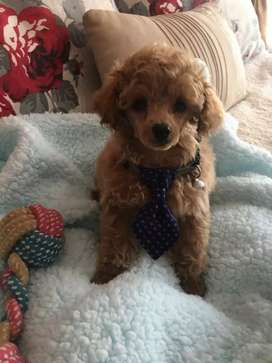 Beautifull French Toy poodle boy