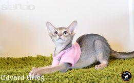 Абиссинский котенок - дикая и ласковая грация в вашем доме.