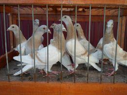 голуби почтовые