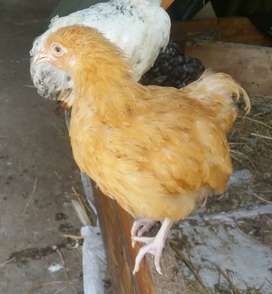 Buff Orpington chickens from R80