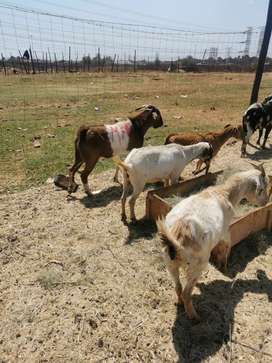 Goats, Sheep and Chickens for Sale